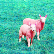 Pink Lambs Lavendar Sachet