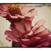 zinnias, pink, with sketch frame