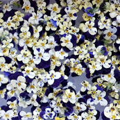 dried edible violas
