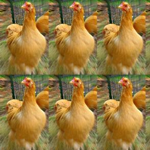 Zoom chicken1