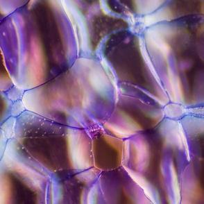 Rose stem cells, Toluidine Blue, Darkfield Microscopy