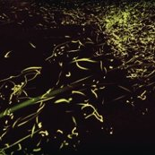 Rrrgold-fireflies-yuki-karo-07_ed_ed_shop_thumb