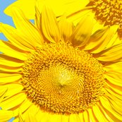 Sunflowers_multiple_on_blue_yard_shop_thumb