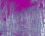 Rrwoodlot_violet_2_thumb