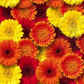 daisies-ed