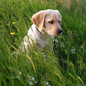 Yellow Lab Puppy In The Grass