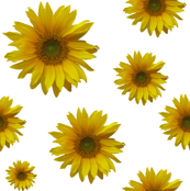 Grandfather's Sunflowers