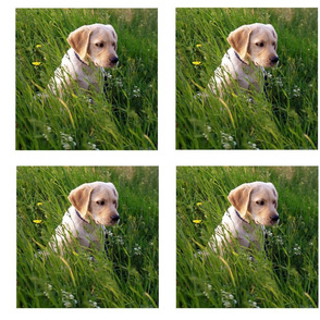 yellow_lab_squares