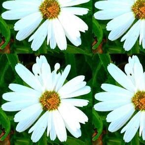 Miracle Daisy