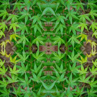 Green Japanese Maple Leaves 7328