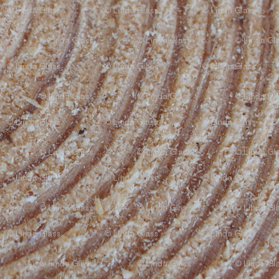 Pine_Tree_Rings_up_close_II