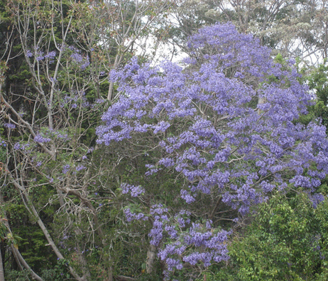 Jacaranda blossom in rain