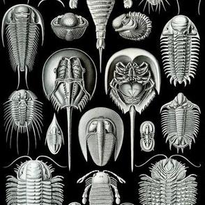 Haeckel Aspidonia Trilobite Crabs