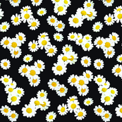 Daisies on black