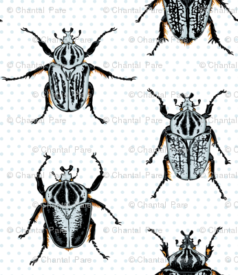 Medium Goliath Beetles
