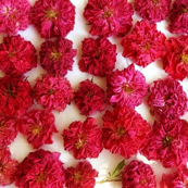 Fuchsia Roses orton