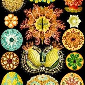 Ascidiacea Ernst Haeckel Antique Microscopic Illustration