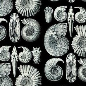 Haeckel Ammonitida Ammonites Shell Fossils