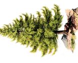 Rrrrrrtree_pine-graphicsfairy008b.pdf_thumb