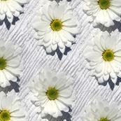 Daisies - Natural