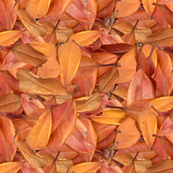 Australian_Autumn_Leaves