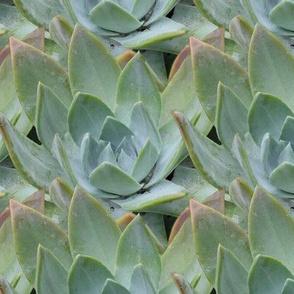 Dudleya brittonii-LARGE
