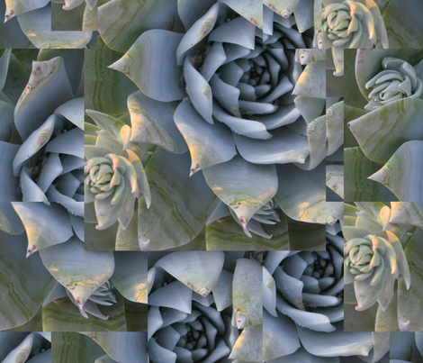 Chalk dudleya-Big print, natural