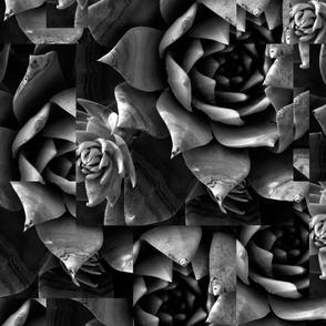 Chalk dudleya-Big print, black and white