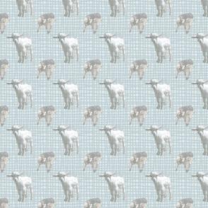 Pigmy goat babies - blue