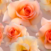 Beautiful_Roses_on_Mauve