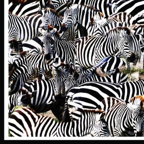 Zebra on migration