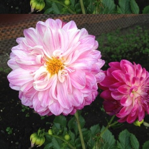 2 Pink Flowers