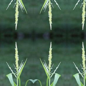 Natural Wheat Grass