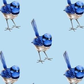 Splendid Fairy Wren on Light Blue