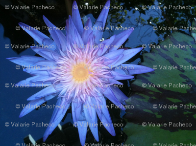 Blue Lotus Liliy
