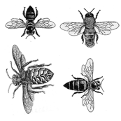 Black and White Honey Bees, Vintage Insect Drawings
