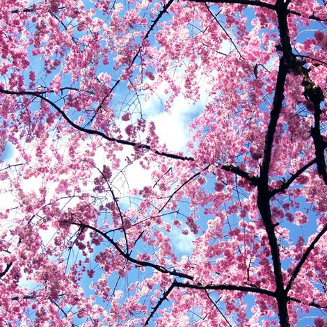 Pink Japanese Cherry Blossom Sakura with Branches Photo fabric by ninniku on Spoonflower - custom fabric