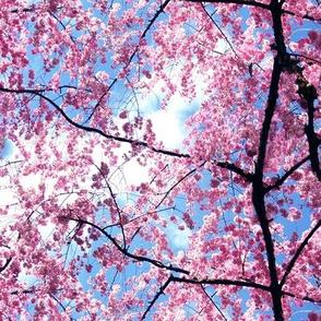Pink Japanese Cherry Blossom Sakura with Branches Photo