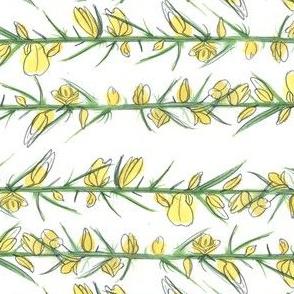 Manx Flora - Gorse