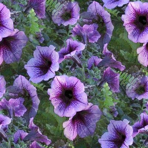 Purple Plum Petunias