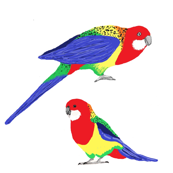 Rosella two