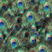 Photographic Peacock Feather