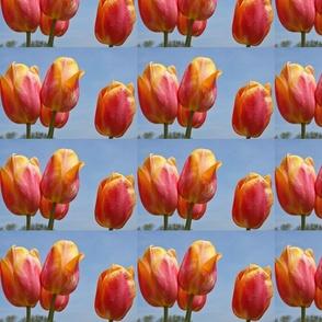 tulip_yellow_pink