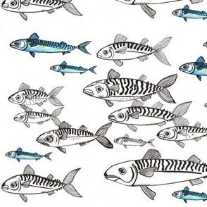 mackerel fishes -