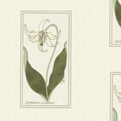 Rrrfawn-lily-single-w-bkgr300-7x9-nosize_shop_thumb