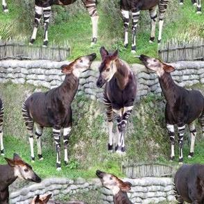 Okapi Corral