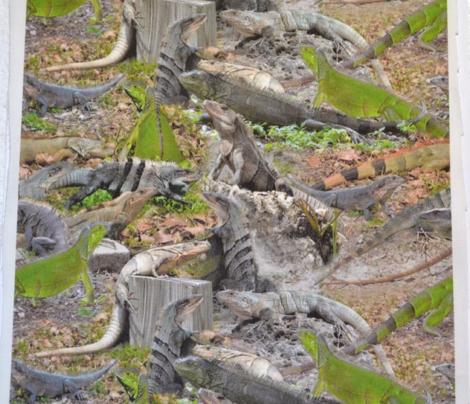 Iguana Bonanza