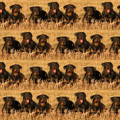 rottweilers_in_the_grass