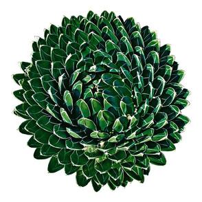 agave 6