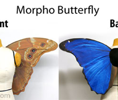 Medium Blue Morpho Butterfly Wings